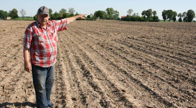 """Dzikie gęsi """"stołują"""" się na polu rolnika w Olekszynie"""