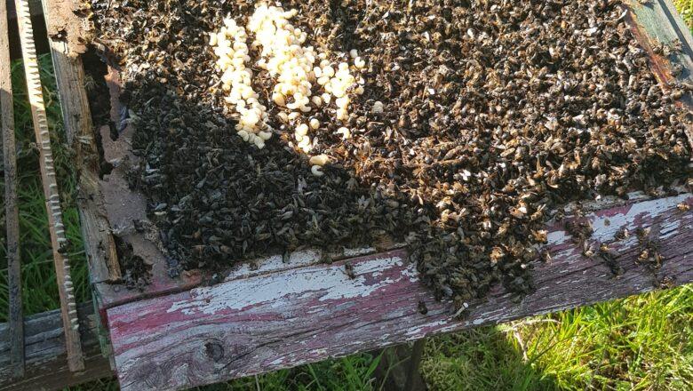 Sześćset tysięcy pszczół wytrutych. Wójt wyznaczył nagrodę pieniężną